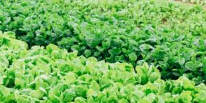 Fresh growing lettuce